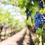 Como se pronuncia cada uva?