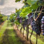 Late Harvest: a história do cavaleiro atrasado e sua colheita tardia