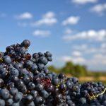 República das uvas