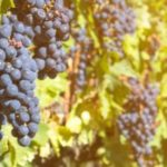 Vinho Brasileiro é Bom E Faz Bem Para A Saúde