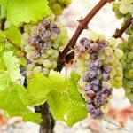 Sauternes, o tesouro dos vinhos doces