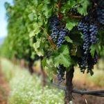 Uvas de Bordeaux. Parte I: O Corte Bordalês