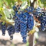 As notas e os sabores das uvas