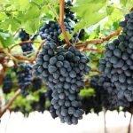 Como descobrir sua uva preferida? Parte 1 – uvas tintas