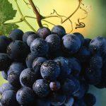 A uva mais plantada da Itália
