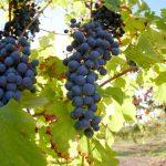 Nebbiolo, uma uva veramente italiana!