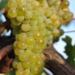 A uva que tem o sabor do vento