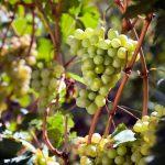 Sauvignon Blanc e o charme dos cheiros