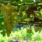 Chenin Blanc, a prata da casa francesa de vinhos
