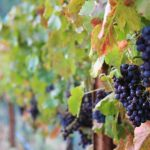 Garnacha, a uva espanhola de presença