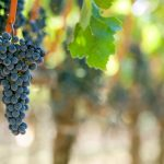 Cabernet Sauvignon, a uva de muitas faces