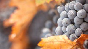 Pinot Noir, o diamante em constante lapidação