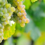 Johannisberg, uma uva que é raridade européia