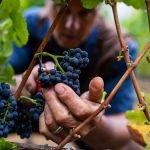 O assunto? Elegância. 10 versões da rainha das uvas tintas.
